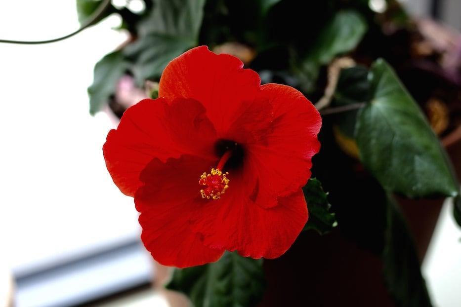 Hibiscus - 1